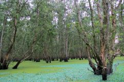 Mangrove (13)