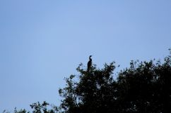 Mangrove (17)
