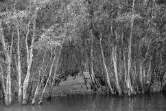 Mangrove (28)