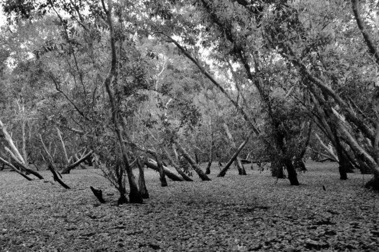 Mangrove (6)