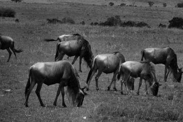 Masai Mara National Reserve (143)