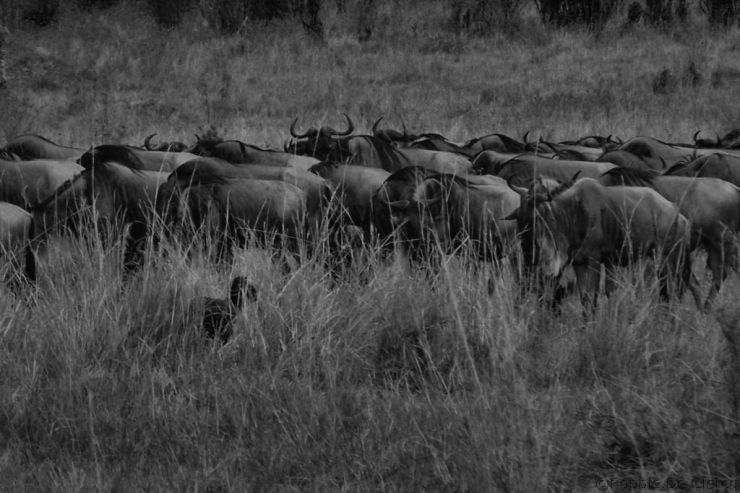 Masai Mara National Reserve (147)