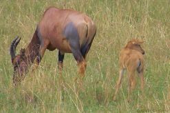 Masai Mara National Reserve (168)