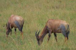 Masai Mara National Reserve (170)