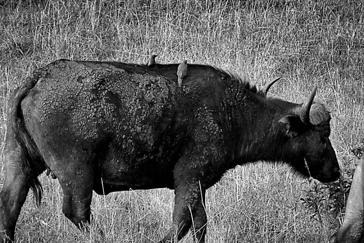 Masai Mara National Reserve (23)