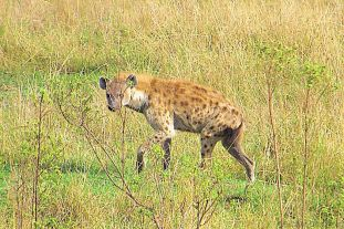 Masai Mara National Reserve (55)