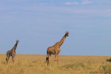 Masai Mara National Reserve (80)