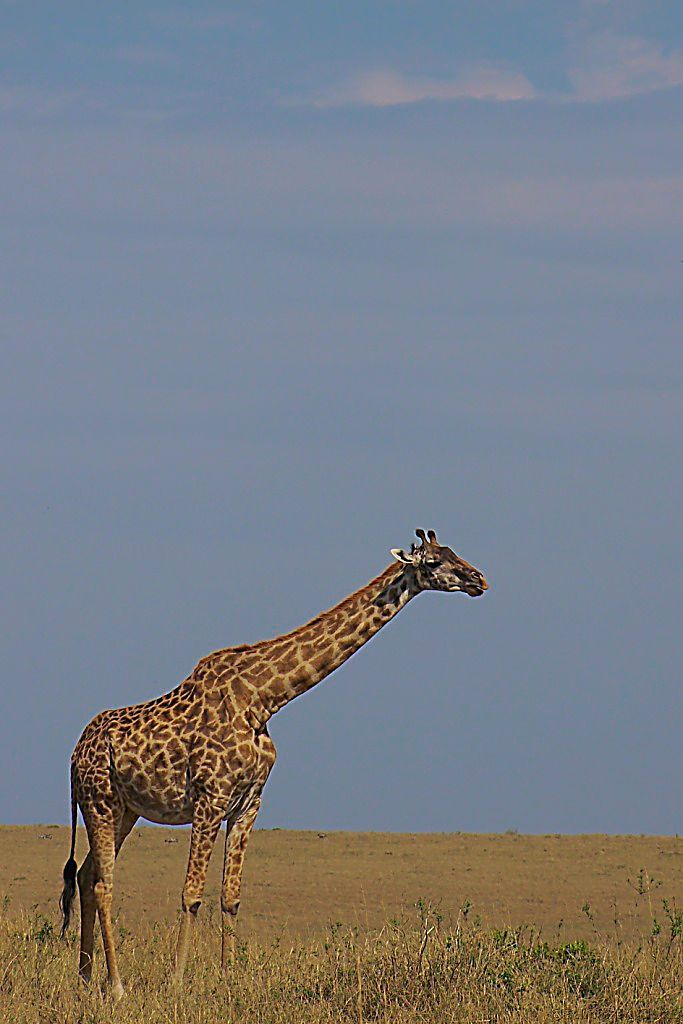 Masai Mara National Reserve (81)