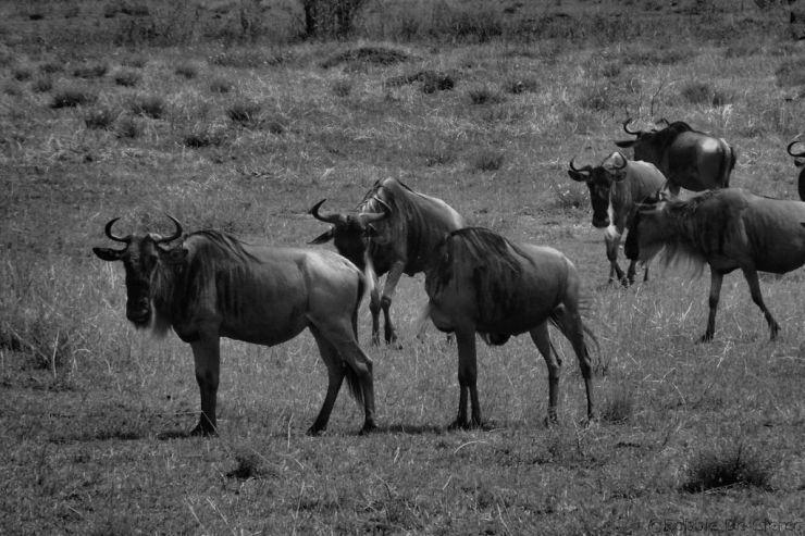 Masai Mara National Reserve (99)