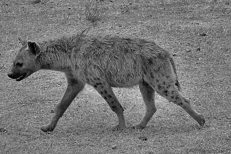 Ngorongoro (31)