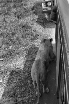 Ngorongoro (49)