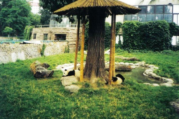 Panda's in de zoo