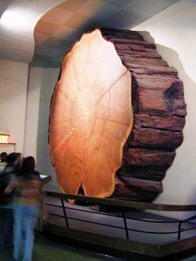 Reuzensequoia 01