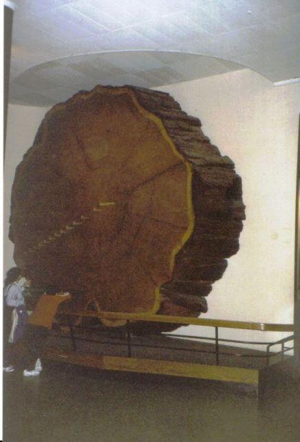 Reuzensequoia 02