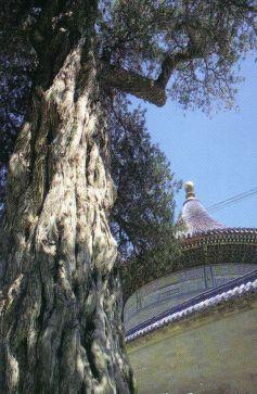 Tempel van de Hemel 10 (Cipres van de Negen Draken)