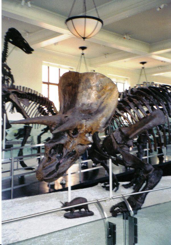 Triceratops 02