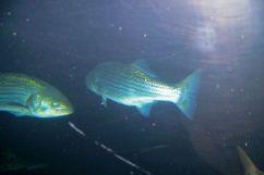 Aquarium of the Bay (39)