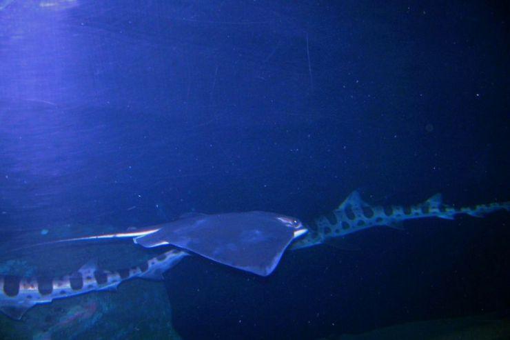 Aquarium of the Bay (42)