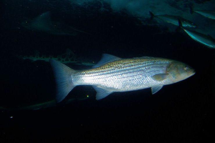 Aquarium of the Bay (47)