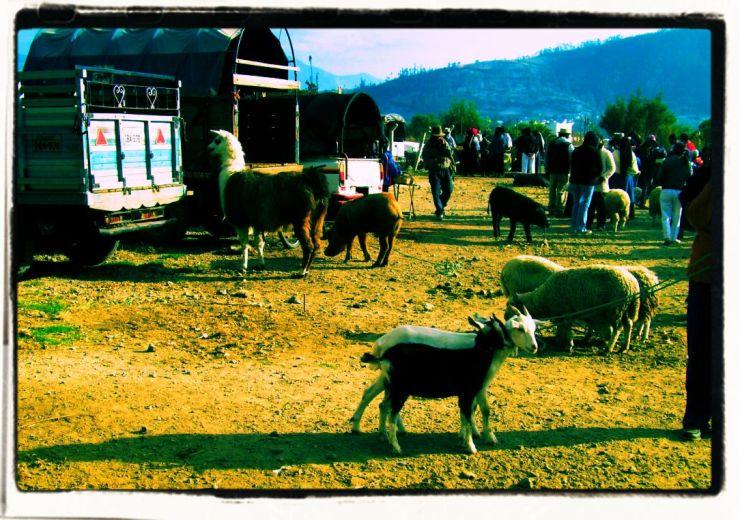 Dierenmarkt (16)