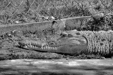 Dumazulu 12 (croc farm in hotel)