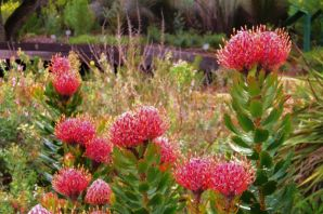 Kirstenbosch Garden (1)