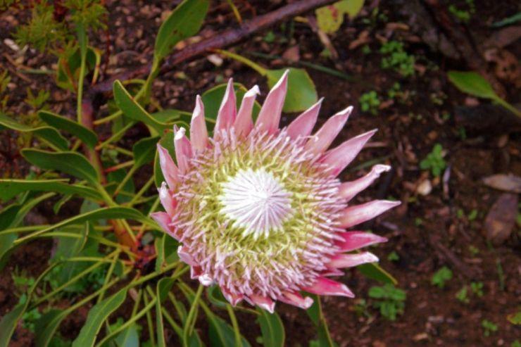 Kirstenbosch Garden (19)