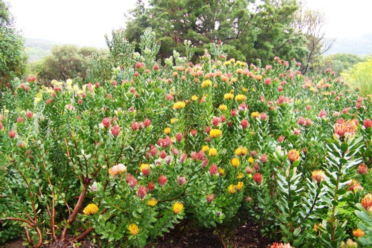 Kirstenbosch Garden (9)