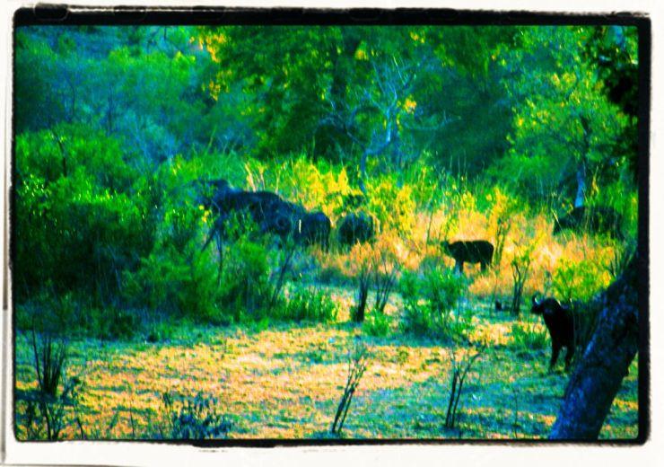 Kruger NP 07 (waterbuffels)