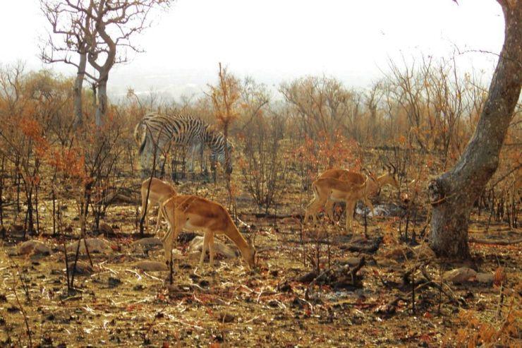 Kruger NP 22 (impala's)