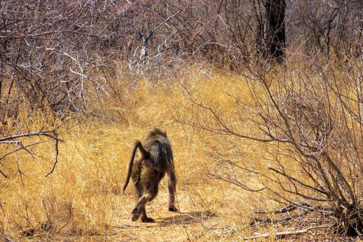 Kruger NP 36 (baviaan)