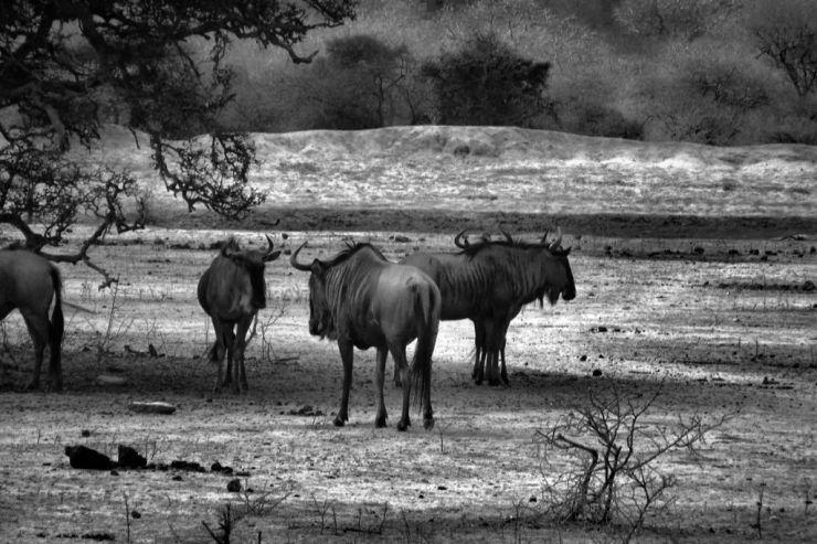 Kruger NP 39 (gnoes)