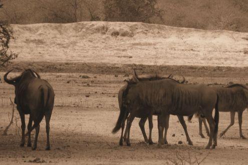 Kruger NP 43