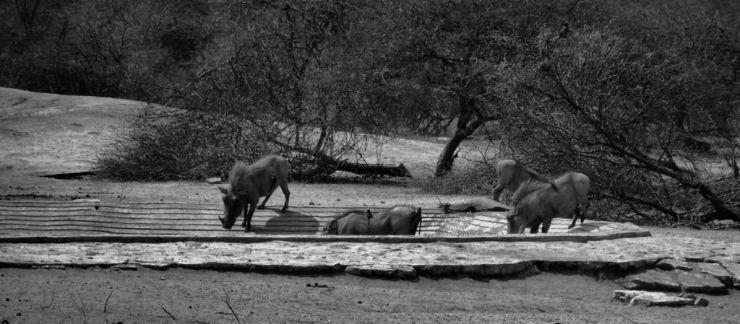 Kruger NP 44 (wrattenzwijnen)