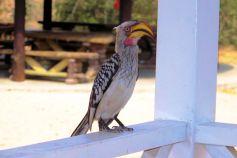 Kruger NP 65 (geelsnavelneushoornvogel)