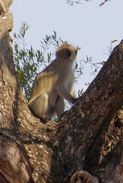 Kruger NP 73 (meerkat)