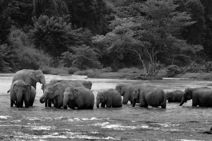 Pinnawala Elephant orphanage (11)