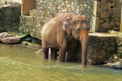 Pinnawala Elephant orphanage (12)