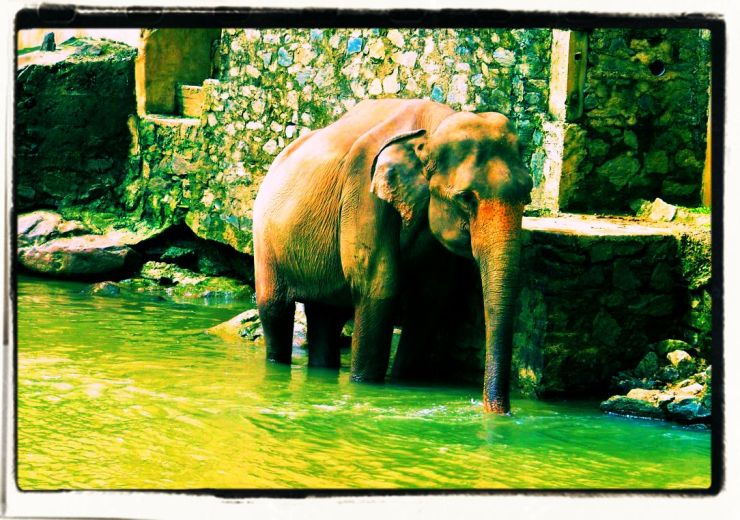 Pinnawala Elephant orphanage (13)