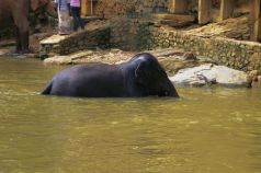 Pinnawala Elephant orphanage (14)