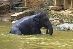 Pinnawala Elephant orphanage (8)