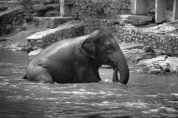 Pinnawala Elephant orphanage (9)