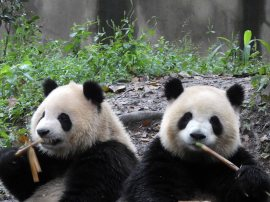 Giant Panda Research Centre (10)