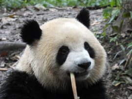 Giant Panda Research Centre (11)
