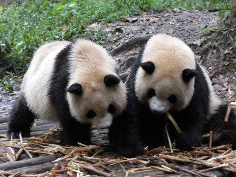 Giant Panda Research Centre (12)