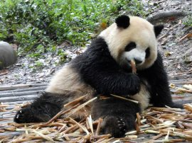 Giant Panda Research Centre (13)