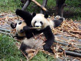 Giant Panda Research Centre (14)