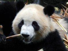 Giant Panda Research Centre (15)