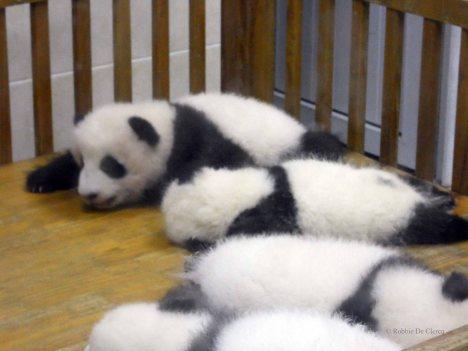 Giant Panda Research Centre (19)