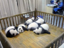 Giant Panda Research Centre (20)
